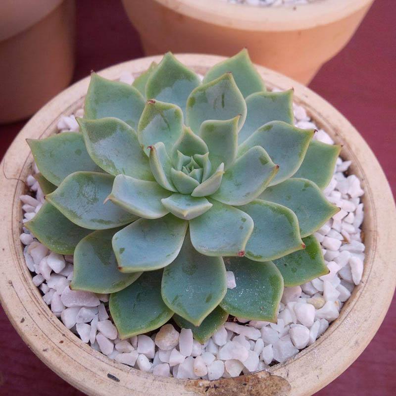 Sen đá là loài cây thuộc dòng thực vật mọng nước, còn có tên gọi khác là cây Liên Đài